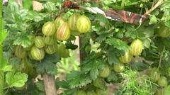 Fresh green ripe gooseberries growing on organic berries bush. 4K Stock Footage