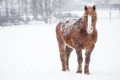 Brown horse standing up and looking at the camera during a snowstorm - stock photo