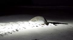 Female turtle walking towards sea at night Stock Footage