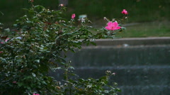 Rain Falling on Pink Rose Plant in Slow Motion Stock Footage