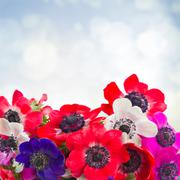 Anemone flowers on blue Stock Photos