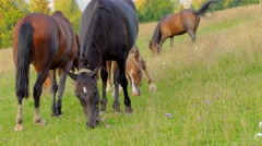 4k, A herd of horses grazing on mountain pasture Stock Footage