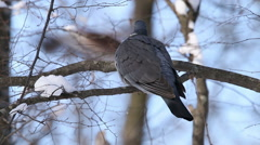 Bird Wood Pigeon landed on a branch in winter snowy forest tree - stock footage