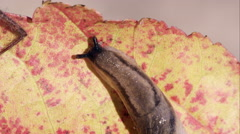 Close shot of a slug on a red leaf, from above. Stock Footage