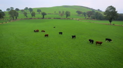Aerial drone footage of cattle grazing Stock Footage