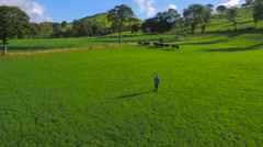 Low aerial drone footage of a farmer walking to his cattle Stock Footage