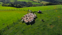 Aerial drone footage of a farmer and his dogs herding sheep Stock Footage