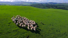 Aerial drone footage of a farmer herding his sheep with his sheep dogs Stock Footage