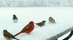 Birds fight over snow covered birdseed in blizzard, winter survival. Stock Footage