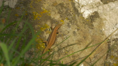 Lizard on a rock in Sarajevo Stock Footage