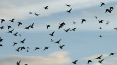 Ducks In Flight, Bird, Birds, Fly, Flying Stock Footage