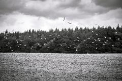 black and white shot of flying seagulls over  arable land - stock photo