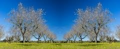 blossoming almond tree - stock photo