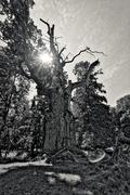 very old oak with the sun behind - stock photo
