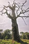 HDR shot of an very old oak - stock photo