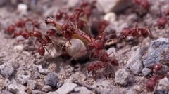 Swarm of fire ants attacking grasshopper. - stock footage