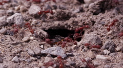 Swarming fire ants dragging lady bug into tunnel. - stock footage