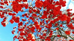 Rowanberry  in winter. Looking up through the rowan-tree branches and red  be - stock footage