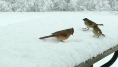 Stock Video Footage of Birds fight over snow covered birdseed in blizzard, winter survival.