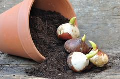 germination of tulip bulbs - stock photo