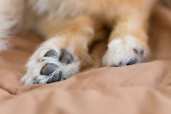 close up image, detail of foot pomeranian dog - stock photo