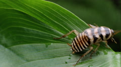 Orin's Cockroach crawling on a leaf. Stock Footage