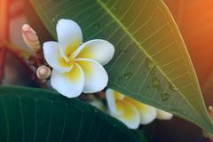 White frangipani tropical flower, plumeria flower fresh blooming on tree, spa Stock Photos