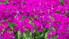 Phlox flower in summer Stock Footage