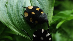 Domino Roach and Orange Spotted Domino on crawling on a leaf. Stock Footage