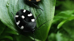 Stock Video Footage of Domino Roach and Orange Spotted Domino on crawling on a leaf and each other.
