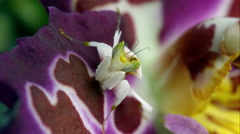 An Orchard Mantis on a colorful flower. Stock Footage