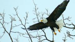 Majestic Bald Eagle flying in ultra slow motion, closeup Stock Footage