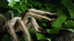 Stock Video Footage of Arizona Blond Tarantula crawling over some leaves.