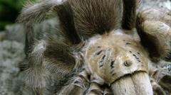 Stock Video Footage of Extreme close up of an Arizona Blond Tarantula crawling on some bark.