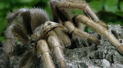 Stock Video Footage of Close up shot of an Arizona Blond Tarantula crawling on some bark.