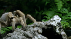 Tight shot of an Arizona Blond Tarantula crawling on some bark. Stock Footage