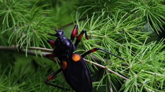 Mombo Assassin Bug crawling on a tree branch. - stock footage