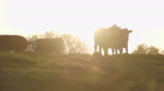Golden cows on a hill silhouetted by the setting sun Stock Footage