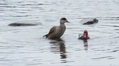 A couple of red-crested pochard (Netta rufina) Stock Footage