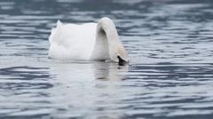Mute swan , Cygnus olor, Stock Footage