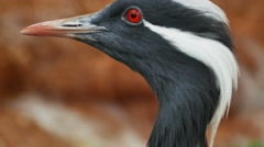 Demoiselle Crane Black and White Close Up, 4K Stock Footage