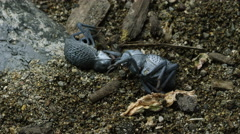 Two Blue Death Feigning Beetles waking up. Stock Footage