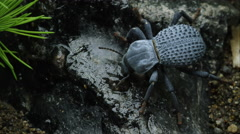 Blue Death Feigning Beetle crawling on a rock.. Stock Footage
