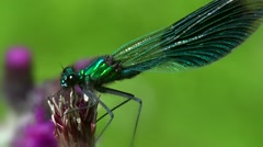 Damselfly macro Stock Footage