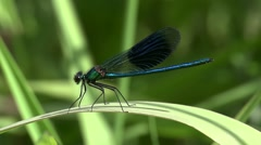 Damselfly takes of and landing Stock Footage