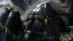 Macro shot of a Gooty Sapphire Ornamental Tree Spider's head. Stock Footage