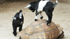 Baby Goats Climbing on Top of Large Tortoise, 4K Stock Footage