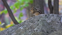 Siberian chipmunk (Eutamias sibiricus) on rock. Stock Footage