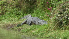 Large Alligator Laying out in the Sun By Water, 4K Stock Footage