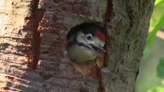 Great Spotted Woodpecker  Stock Footage
